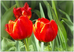 Red tulips (Stella VM) Tags: flowers red garden spring tulips