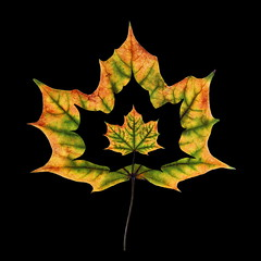 3 of 1 (uhx72) Tags: leaf lightpainting nature stilllife autumn collage maple acer