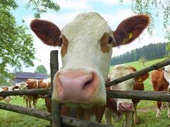 Neugierige Kuh (Mariandl48) Tags: austria kuh zaun bume bauernhof steiermark birken wenigzell sommersgut kalbinen
