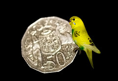 Budgie Lapel Pin   -Smaller than a Coin- (satochappy) Tags: money macro bird coin small australian cents tiny budgie hmm lapelpin macromondays smallerthanacoin