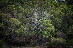 2016 - Sydney - Dead Wood (Ted's photos - For Me & You) Tags: trees forest nikon branches sydney australia deadtree greenery cropped vignetting hawkesburyriver 2016 sydneyau tedmcgrath tedsphotos nikonfx nikond750