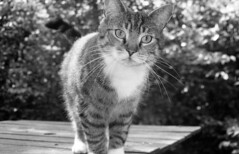 Razul by Espio (Arne Kuilman) Tags: cat garden kat feline pentax xp2 pointandshoot tuin ilford espio razul