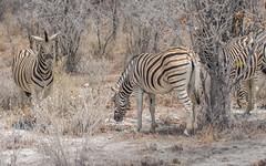 PGC_5266-20150923 (C&P_Pics) Tags: na namibia burchellszebra etoshanationalpark oshikoto namutonicamptohalalicamp