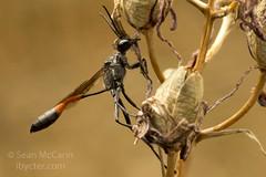 Ammophila (Sean McCann (ibycter.com)) Tags: bc victoria ammophila sphecidae uplandspark