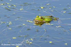 Pool frog (Desiree van Oeffelt) Tags: blue reflection green nature water pool animal animals reflections wildlife frog frogs lessonae pelophylax desireevanoeffelt
