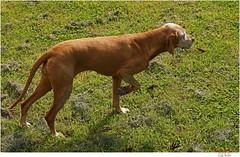 70 (Lutz Koch) Tags: dog chien pet co cane hungary pointer vizsla perro hund kutya ungarn zala aiguille hungarianvizsla vorstehhund magyarvizsla elkaypics lutzkoch