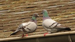 Two (Yasmine Hens) Tags: two bird europa flickr belgium pigeon dove ngc deux oiseau namur hens yasmine wallonie iamflickr flickrunitedaward hensyasmine