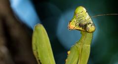 Praying mantis (Macro mission) Tags: macro bug mantis insect prayingmantis