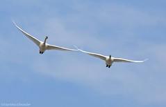 Tundra Swan B (martinaschneider) Tags: ontario bird birds swan flight bluesky aylmer tundraswan