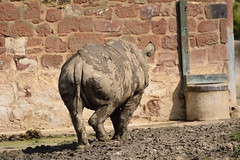 Chester Zoo (408) (rs1979) Tags: zoo chester rhino blackrhino chesterzoo