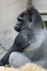 Gorilla (iansand) Tags: zoo gorilla ape taronga tarongazoo silverback