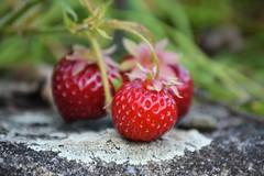 Beerige Zeiten II (chrissie.007) Tags: fruit berries strawberries beeren erdbeeren frchte 20160619