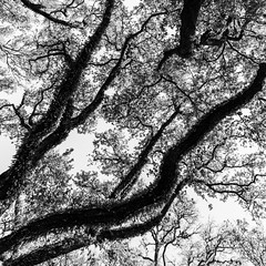 Above South Blvd No. 18 (Mabry Campbell) Tags: trees blackandwhite usa abstract nature monochrome up vertical landscape photography photo texas photographer unitedstates image branches unitedstatesofamerica fineart houston 1600 hasselblad f90 photograph liveoak april 24mm oaktrees fineartphotography 2016 northblvd commercialphotography fav10 harriscounty liveoaktrees southblvd westuniversity intimatelandscape sec mabrycampbell h5d50c hcd24 april222016 abovesouthblvd 20160422campbellb0001292