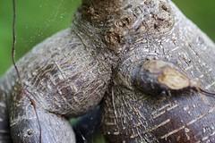 Baobab Shiva (danvil33) Tags: plant macro fujifilmx