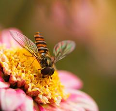 hoverfly (maar73) Tags: flower macro nature natuur hoverfly zweefvlieg maar73 sonya7m2 fe90mmf28macrogoss