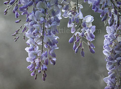 Wish this was my wisteria (Misses Davies) Tags: flowers summer garden spring purple blooms delicate wisteria trailing