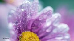 Rain    In Explorer # 27.06 2016 (petra.foto on/off) Tags: blume blte flower nature foto mageritte fotopetra canon regen tropfen drops summer explorer