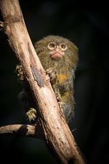2015-03-07-15h16m21.BL7R4825 (A.J. Haverkamp) Tags: amsterdam zoo thenetherlands artis pygmymarmoset dierentuin dwergoeistitie httpwwwartisnl canonef100400mmf4556lisusmlens