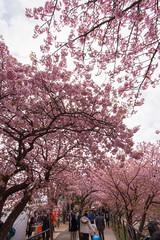 DS7_1764.jpg (d3_plus) Tags: street sea sky plant flower nature car rain japan drive spring scenery cloudy wideangle rainy  cherryblossom  sakura   shizuoka    touring  izu  kawasaki  prunus superwideangle  rapeblossoms kawazu     sakurafestival       a05   kawazuzakura  1735mmf284 tamronspaf1735mmf284dildasphericalif tamronspaf1735mmf284dildaspherical d700  nikond700 tamronspaf1735mmf284dild tamronspaf1735mmf284 kawazucherryblossom tamronspaf1735mmf284dildasphericalifmodela05