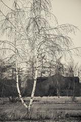 (Daniel.Bruns) Tags: tree sigma birch foveon leverkusen
