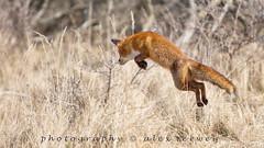 Jumping Fox ... (EXPLORE) (Alex Verweij) Tags: wild nature canon natuur explore fox 5d vos redfox vulpesvulpes reinier 2015 alexverweij 5dmarkiii 22032015