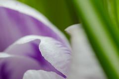 32/365 - Glimpse (Spannarama) Tags: flower macro green leaves closeup petals purple crocus 365 february raynoxdcr250