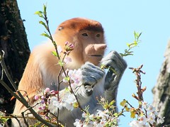 Flower Child (Ger Bosma) Tags: flower tree male jeff monkey spring blossom young ape getty juvenile primate proboscismonkey nasenaffe longnez nasique nasalislarvatus neusaap nasica largenose bekantan monyetbelanda orangbelanda mononarigudo longnosedmonkey dutchmonkey singetrompe nosacz mononsico   nosaczsundajski 2mg97773