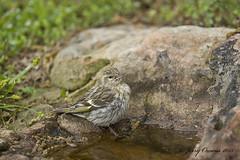 2752 (JerrysPhotographs) Tags: bird wildlife unknown arkansas