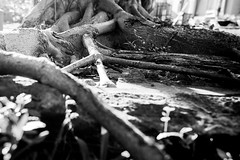 Roots (Corina Freyre Photography) Tags: bw nature humanvsnature