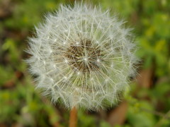 3-13-15 036 (LeeLee's pictures) Tags: 31315 mississippiriver woods nature dandelions yellow flower wildflower weeds makeawish white flyaway