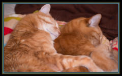 A Nap for Two (II) (gtncats) Tags: pets autofocus ef50mmf14usm orangetabbies 70d photographyforrecreation frameitlevel01 infinitexposure tabbieskittiessleepingnappingcat nappingcanon