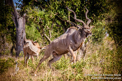 Male Kudu Jumping In Chobe National Park, Botswana