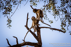 Baby Monkeys In The Okavango Delta, Botswana