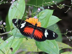 Dot-bordered Heliconian - Laparus doris - Gamboa, Coln, Panama - March 30, 2015 (mango verde) Tags: butterfly panama doris gamboa coln nymphalidae dorislongwing brushfootedbutterflies panamarainforestdiscoverycenter parquenacionalsoberana laparus laparusdoris dotborderedheliconian soberananationalpark