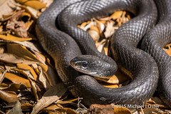Florida Black Racer Snake (F7sound) Tags: tampa florida reptile snake sony racer a6000 55210mm f7sound