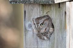 Screech! (greg obierek) Tags: bird nature canon nocturnal wildlife owl delaware birdofprey easternscreechowl bbh megascopsasio graymorph avianexcellence bombayhooknwr usnwr usnationalwildliferefuges ef500mmf4isl eos7dmkii