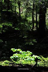 Muir_Redwood_DSCF6988 (Dutch Design Photography) Tags: california wood trees red tree green nature forest leaf bomen groen bast north natuur boom blad organic leafs hout sanfranscisco biologie bladeren biologisch natuurlijk