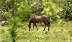 Horses-April 20, 2015-0005.jpg (albertjackson5750) Tags: horses wildhorse prettyhorse brownhorse beautifulhorse horsegrazing brownstallion brownstalliongrazing
