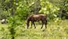 Horses-April 20, 2015-0005.jpg (albertjackson5750) Tags: horses wildhorse prettyhorse brownhorse beautifulhorse horsegrazing brownstallion brownstalliongrazing