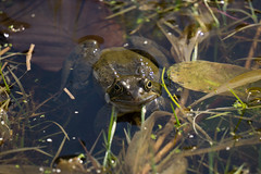 Mr Toad (Andrea Munns) Tags: sony frog toad alpha spawn 6000 pondlife a6000 emount ilce6000