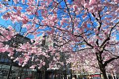 Sakura Stockholm 2 (nikkorglass) Tags: spring sweden stockholm explore sakura kungsträdgården körsbärsträd körsbärsblommor