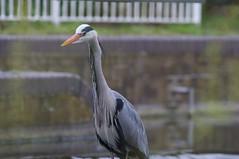 _IAW3375 (IanAWood) Tags: spring britishwildlife hertfordshire rickmansworth greyheron rickmansworthaquadrome nikond300 hertfordshirebirds walkingwithmynikon nikkorafs300mmf4ded