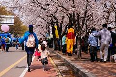 Seoul: Yeouido Spring Flower Festival (Seoul Korea) Tags: city festival asian photo spring asia korea korean photograph seoul cherryblossom southkorea hanriver 서울 yeouido 한국 kpop 대한민국 canoneos6d flickrseoul