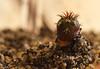 Frailea-Aussaat (Josef17) Tags: pflanzen kaktus kakteen frailea fraileaasteroidesaussaat