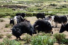 -159.jpg (Fzz7) Tags: china tibet d800   nikon70200f4 summer2015