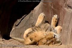 Afrikaanse leeuw - Panthera leo leo - African Lion (MrTDiddy) Tags: cat mammal zoo kat feline leo african lion bigcat antwerp antwerpen bg zooantwerpen grote leeuw panthera zoogdier afrikaanse grotekat