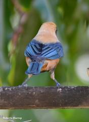 Sara-amarela (Tangara cayana) - Burnished-buff Tangara (Roberto Harrop) Tags: birds aves aldeia paudalho saraamarela tangaracayana sara pssaaros robertoharrop freivicente burnishedbufftangara