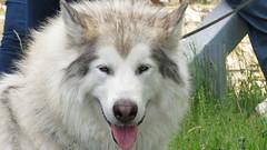 Malamute (sabresfreak) Tags: dog white newyork mountains water grass puppy fur spring sunny malamute adirondack schroonlake