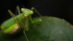 Praying Mantis (nzhodgeman) Tags: macro nature mantis insect prayingmantis