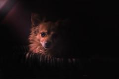 Home light (GiuliaCibrario) Tags: light dog pet home dogs animal animals relax natural beam looks animali mydog sgurdo